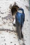 tree swallow 060606_MG_0188