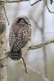 northern hawk owl 061106_MG_0953