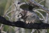 northern hawk owl 061006_MG_0070