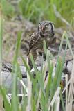 northern hawk owl 061306_MG_0063