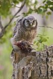 northern hawk owl 061306_MG_0169