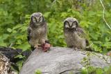 northern hawk owl 061306_MG_0462