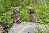 northern hawk owl 061306_MG_0461