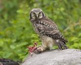 northern hawk owl 061306_MG_0475
