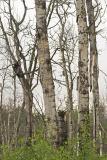 northern hawk owl 061506_MG_0641