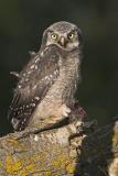 northern hawk owl 062006IMG_0175
