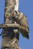 northern hawk owl 062006IMG_0260