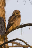 northern hawk owl 062006IMG_0487