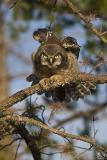 northern hawk owl 062406_MG_0011