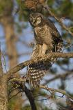 northern hawk owl 062406_MG_0016