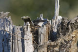 eastern kingbird 062906_MG_0070