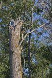 eastern kingbird nest 062906IMG_0839