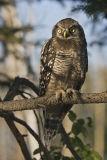 northern hawk owl 062906_MG_0098