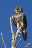 northern hawk owl 070806_MG_0025