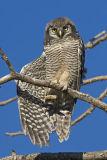 northern hawk owl 070806_MG_0142