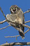 northern hawk owl 070806_MG_0146