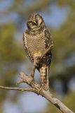 northern hawk owl 072106_MG_0816
