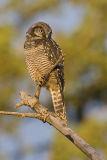 northern hawk owl 072106_MG_0934