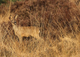 Roe deer - Capreolus capreolus