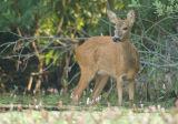 Roe deer - Capreolus capreolus - 25/07/06