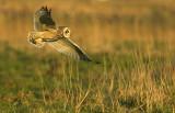 Short-eared owl - Asio flammeus - UItkerke, 02/02/08