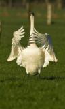 Whooper Swan - Cygnus cygnus, Brecht, 09/02/2008