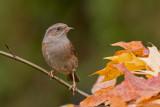 Sparrows - Mussen