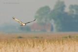 Western Marsh Harrier - Bruine kiekendief