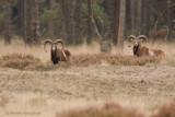 Mouflon - Moeflon