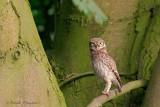 Little Owl - Steenuil