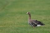 Greater White-fronted Goose - Kolgans