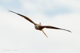 Red kite - Rode wouw
