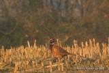 Pheasant - Fazant