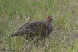 Grey partridge - Patrijs