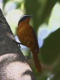 Ruppell's Robin-chat, Ghion Hotel garden, Addis Ababa