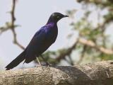 Ruppell's Starling, Lake Awassa