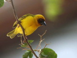 Ruppell's Weaver, Awash NP