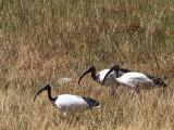 Sacred Ibis, Sululta Plain