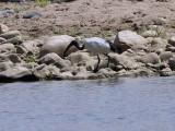Sacred Ibis, Jemmu River