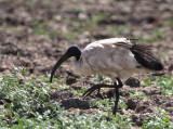 Sacred Ibis, Lake Beseka