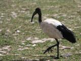 Sacred Ibis, Lake Ziway