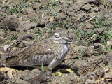 Senegal Thick-knee, Lake Koka