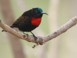 Scarlet-chested Sunbird, Axum