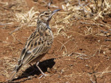 Short-tailed Lark, Dublock south of Yabello