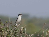 Southern Grey Shrike, Afar Plains