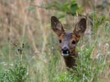Roe Deer, Bishop Loch LNR, Glasgow