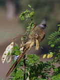 Speckled Mousebird, Axum