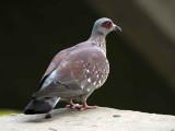 Speckled Pigeon, Axum