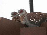 Speckled Pigeon, Bahir Dar