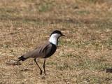 Spur-winged Plover, Sululta Plains
